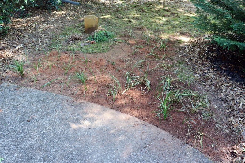 My thinking was to plant it in clumps as close together as feasible.  That way, it will grow in thick when it spreads.  Eventually, it should look like the other border grass spots in the yard.