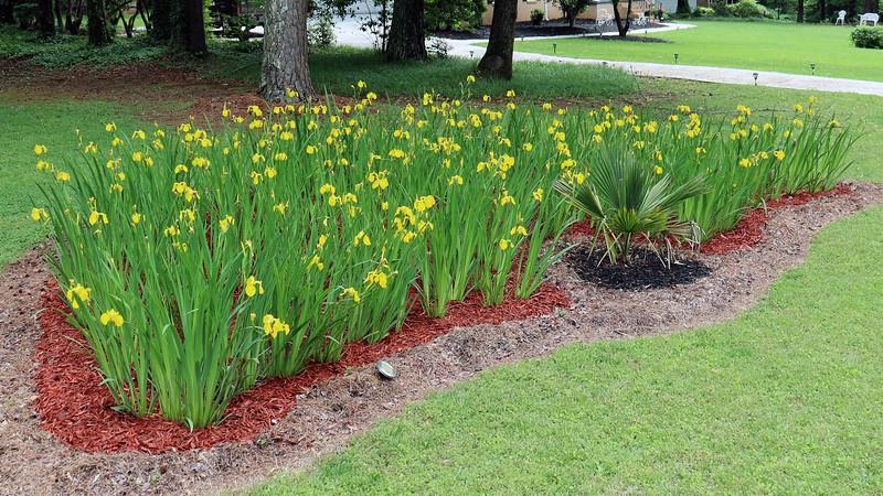 A great crop of irises !