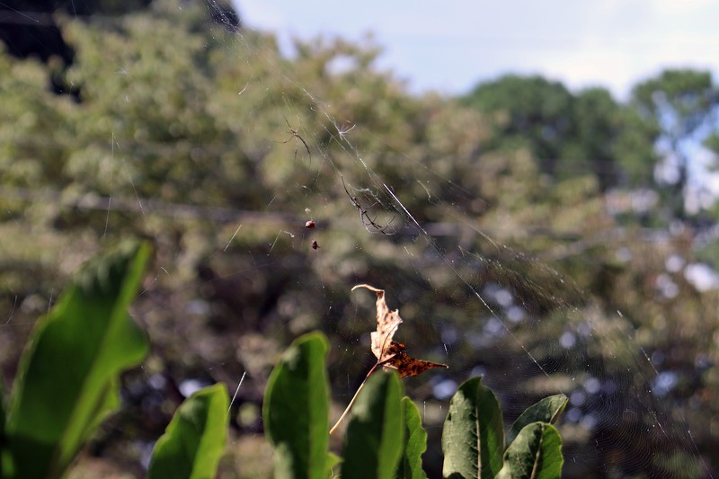 Web on top of the Star Magnolia.
