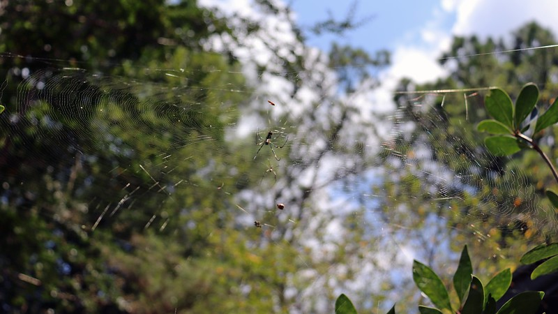 Web at the top of the gardenia next to the garage.