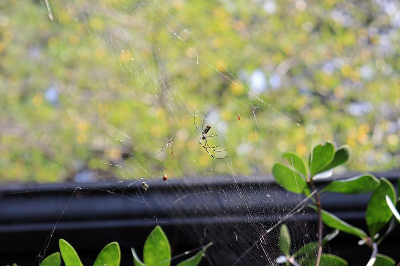 There's another web on top of the gardenia.