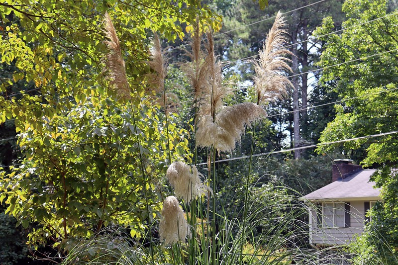 The Pampas Grass plants have all done very well since I moved them out front.