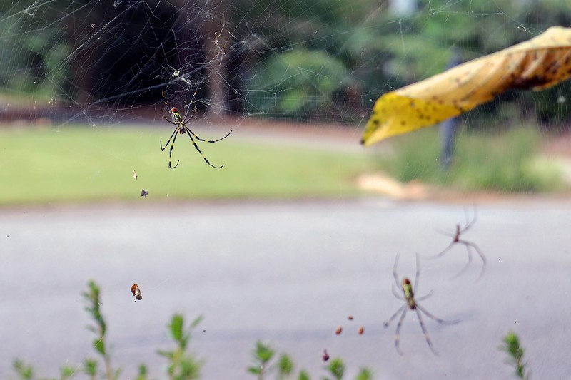 Zooming in on the left spider, which would be the web closest to the street.