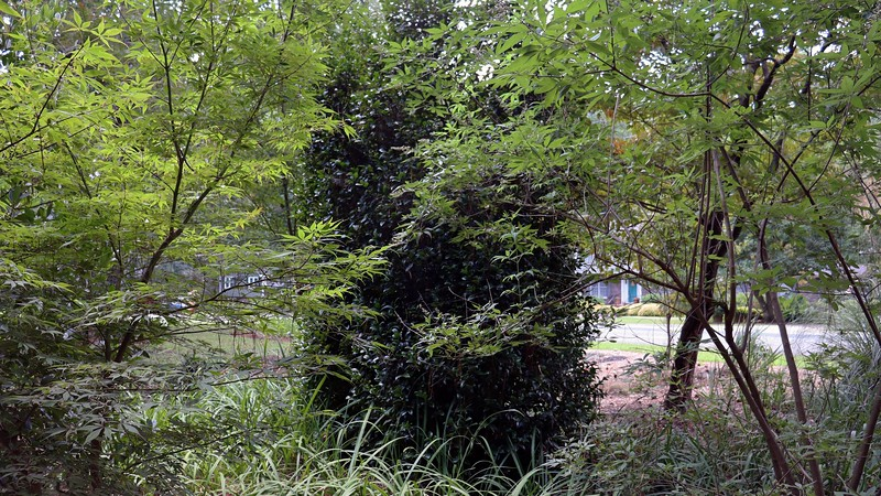 The area in between the vitex, camellia, and Small Anise tree contains several webs.