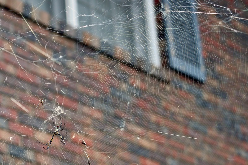Detail of the web at the Chinese Snowball.