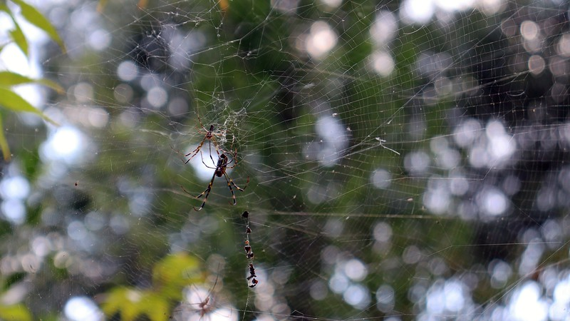 Another happy couple at one of the webs by the Vitex Shoal Creek.