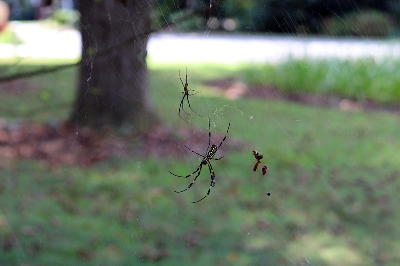 A lower web at the pear tree.