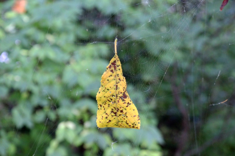 Another floating leaf means another web.