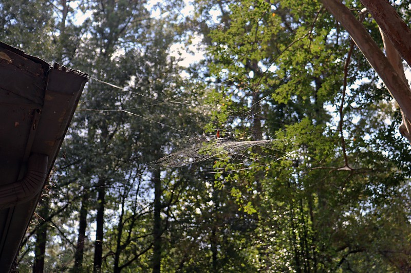 There are several webs at the crape myrtle next to the garage.  The photo above is of an upper web.
