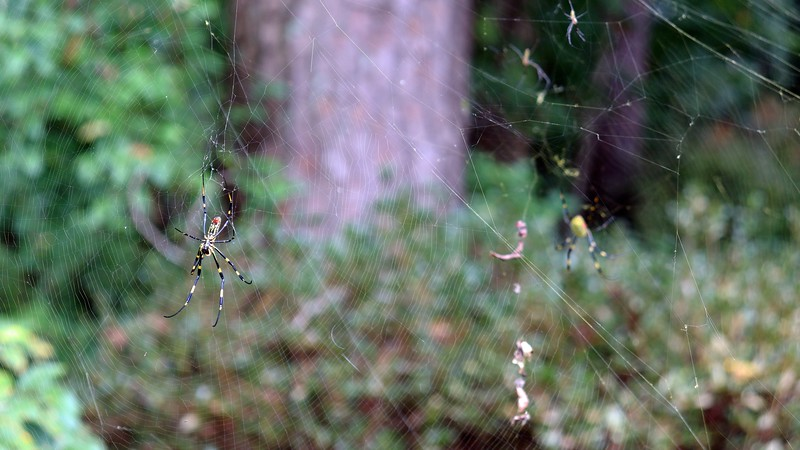 Two Joro webs sit behind the Writing spider.  The photo above focuses on the left spider.