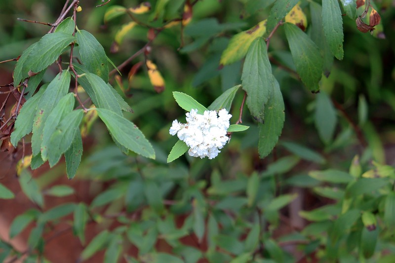 I appear to have one very confused bloom on the Bridal Wreath Spirea.  I'm hoping that transplanting all of the border grass away from the spirea has given it some room to breath.
