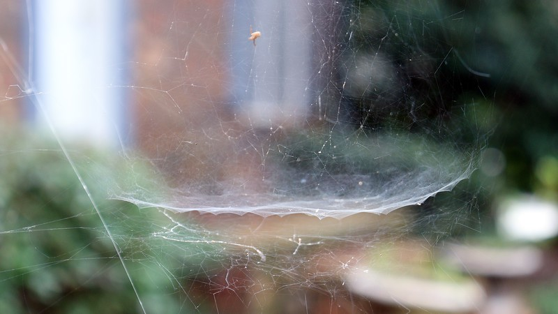 The web seen in the photos above and below is also attached to the Chinese Snowball.