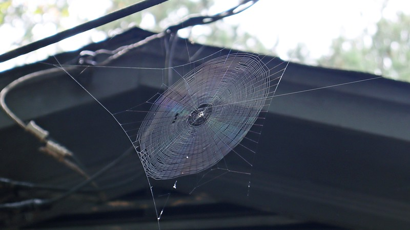 This one is higher than the others to the point where I almost didn't see it.  I don't think it's a Joro web, however.