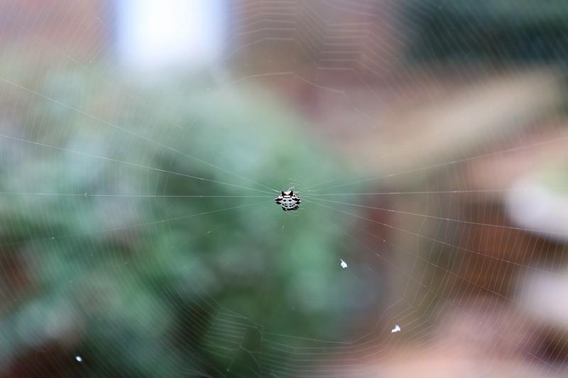 Spiny orb weaver spider.