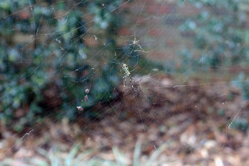 There are several webs here as well.  The photo above is of a lower web.