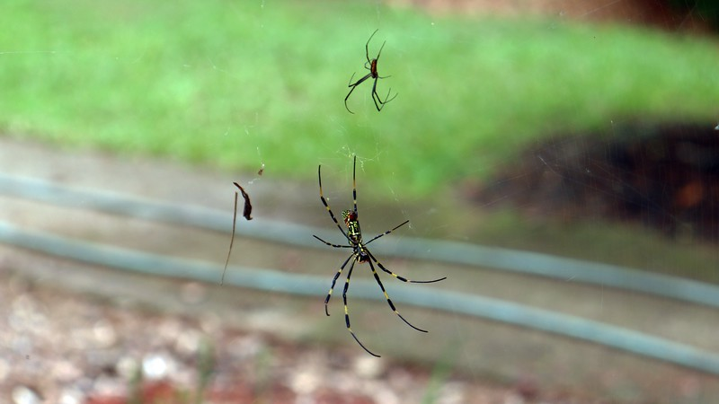Lower web on the pear tree with a female (larger), and male (smaller), Joro spiders.