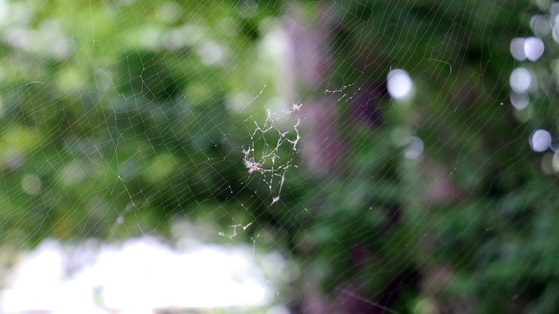 Actually, I have to be careful walking anywhere in the yard at this point.  These webs are near eye-level.