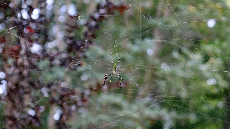 There is another web higher up on the pear tree.