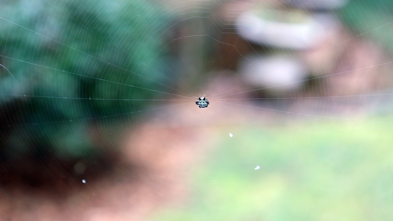 Below the Joro web was some kind of a spiny orb weaver spider web.