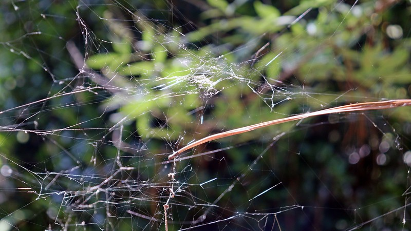 Web at the Vitex and Japanese Maple.
