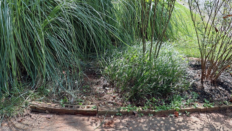I plan on transplanting more of the border grass over to the other side of the yard, and removing some of the bricks.