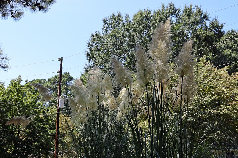 The Pampas Grass looks great !