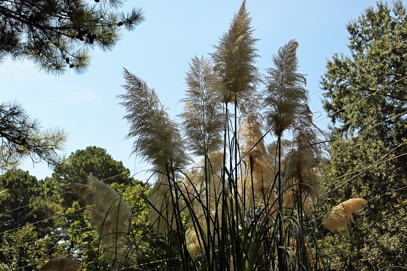 Blooms on the Pampas Grass.