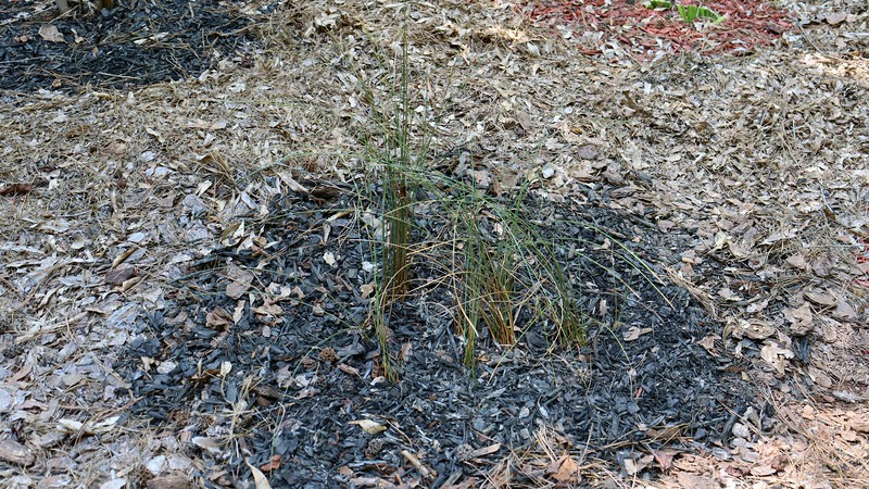 I dug up the hawthorn and transplanted the remaining Javelin Rush grass to that spot.