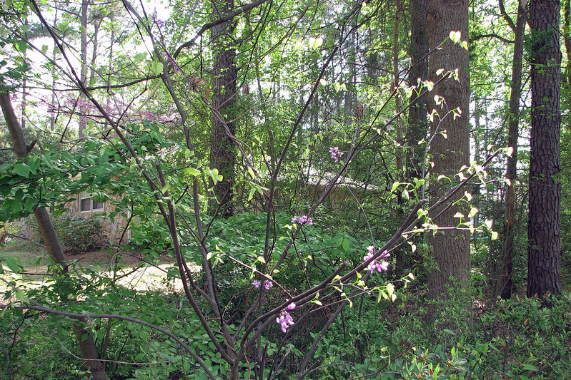 I see I have another redbud tree.  That's nice, except it's growing in a weird spot in among the azaleas.