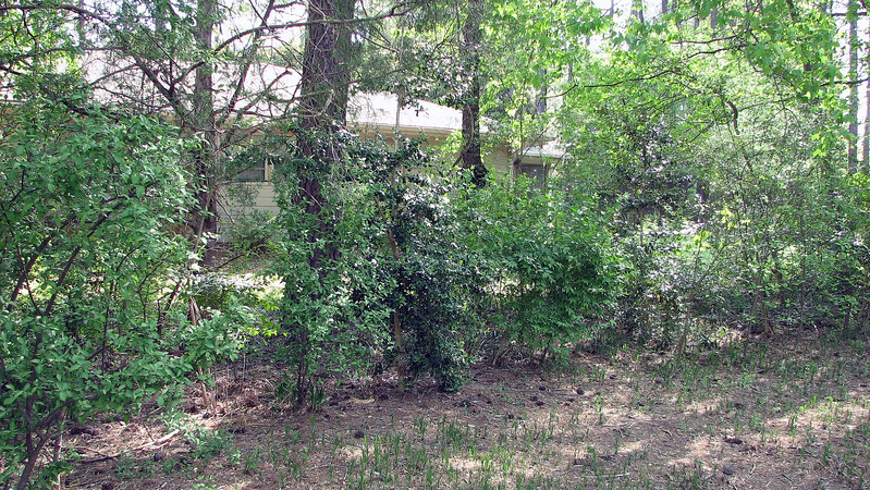 Just like the Sweetgum tree, the privacy hedges went from bare to fully green in about 3 weeks time.