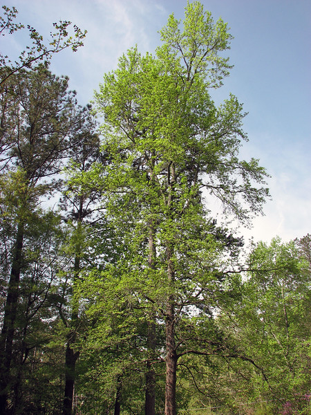 It's taken the Sweetgum tree around 3 weeks to go from bare to fully green, which is a pretty remarkable transformation.