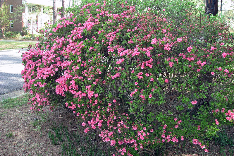 I looked a little closer and discovered that this azalea is actually a series of several individual plants, half pink and half white, that have all grown together.  The pink half appears to wake up before the white half.