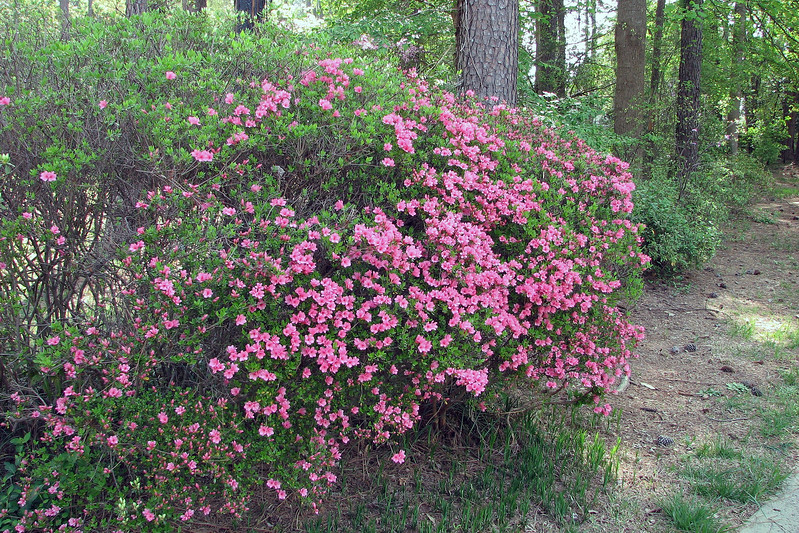 Half of the first azalea in line next to the driveway is blooming.