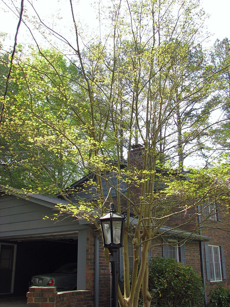 I headed outside on this day into the pollen to cut the grass and decided to take a stroll through the yard to see what was happening.  The crape myrtle beside the garage is also waking up.  I am looking forward to seeing it flower this summer.