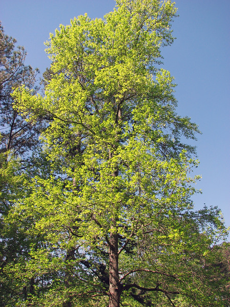 The Sweetgum tree is now completely green.