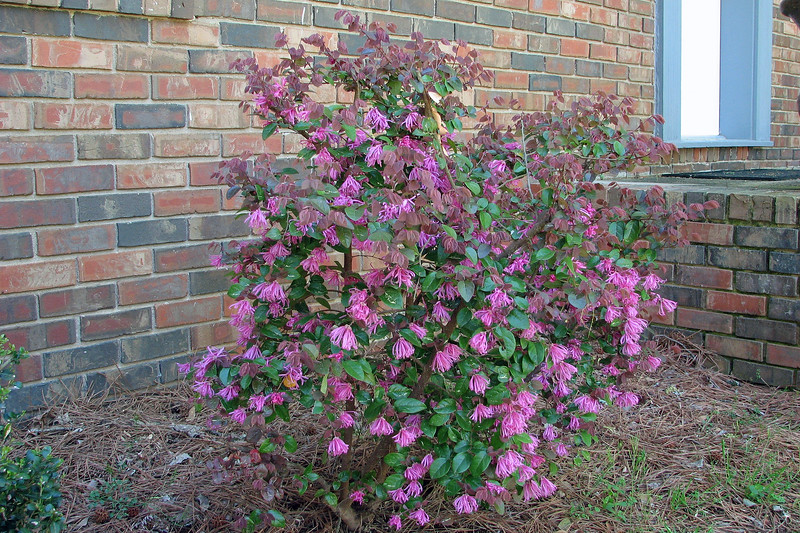 The pink blooms against the green leaves look great.