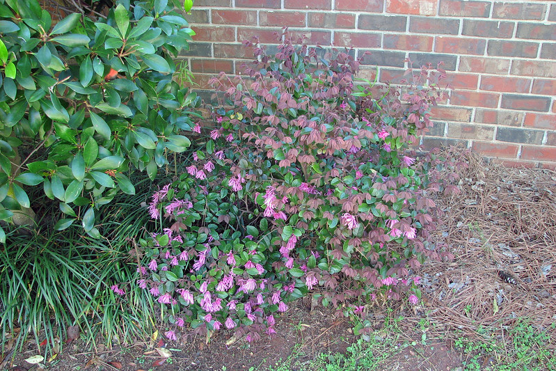 Thanks to my neighbor, I know that the shrubs seen in the photos above and below are loropetalums.  Today, I learned that they bloom in pink.
