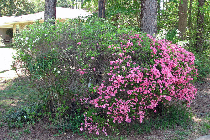 Two days after the previous set of pics was taken, I started to see more activity at the azaleas.