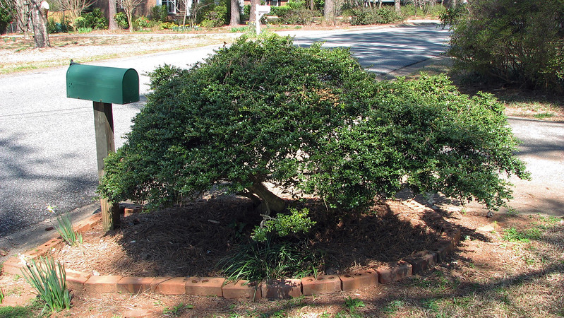 The unusual looking shrub at the mailbox is green and growing.