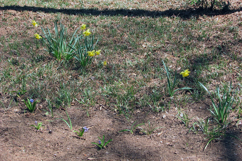 I've got more daffodils in a random location in the backyard.  I've also got several smaller unknown flowers.
