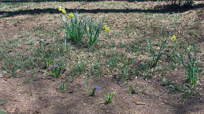 The random daffodils and other flowers are still blooming quite nicely.