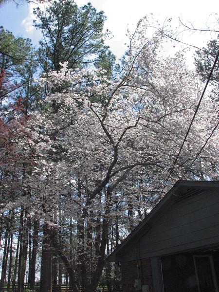 It's hard to believe it's been one year since I first saw this beautiful sight.  But the flowering tree by the back porch is blooming once again.