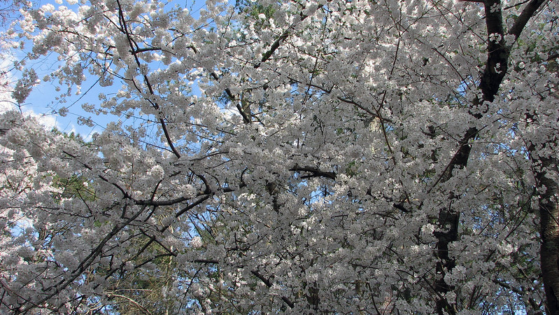 I don't know for sure.  But the flowers and leaves look like what I find labeled as a Yoshino Cherry tree online.  Whatever it is, it works for me.