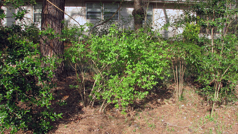 Spring is definitely in full swing !  All of the shrubs that were bare over the winter are now turning green and beginning to fill in quite nicely like the example seen in the photo above.  Before long, I'll have a row of actual privacy hedges.