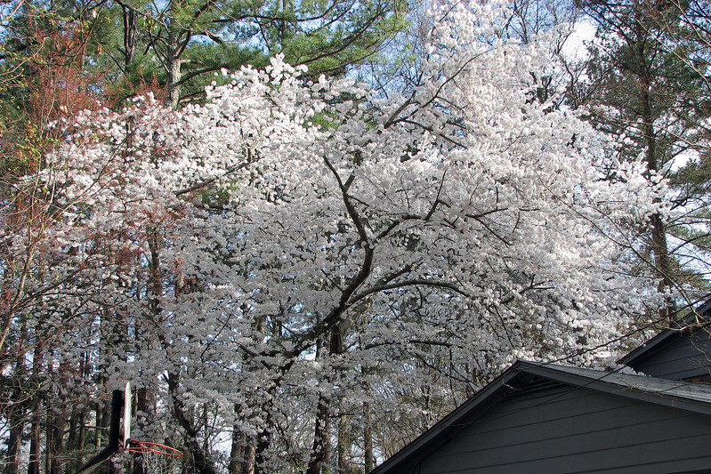 I did some research and now think this is a flowering Yoshino Cherry tree.