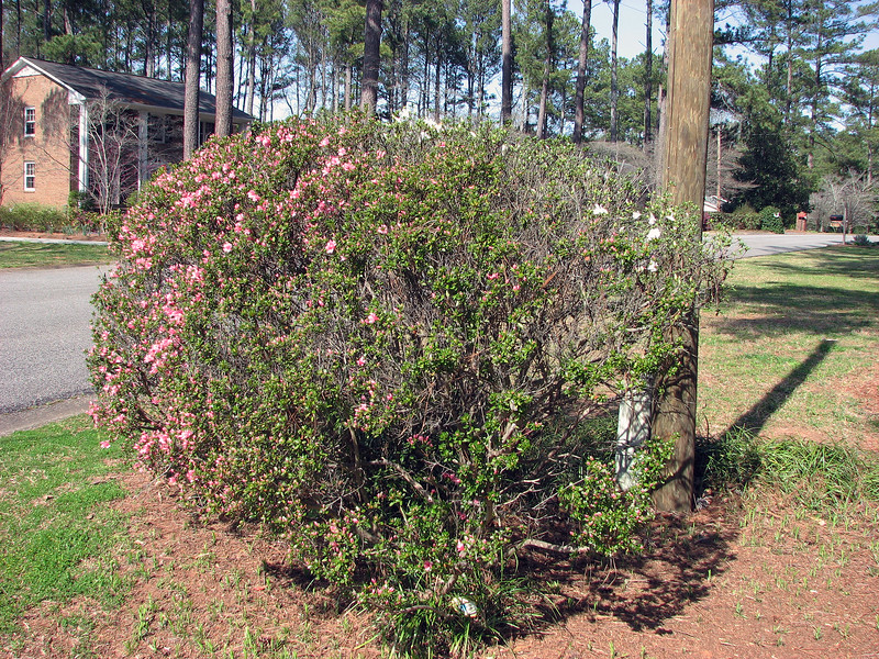 The Azaleas in front are blooming.  I'm actually going to try and cut this monster back and separate it into the two distinct colors seen in the photo.
