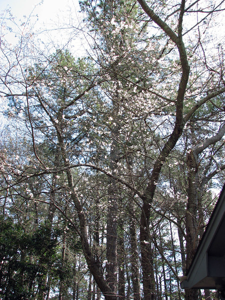 The Dogwood tree at the back corner of the garage is turning white at an accelerated pace.