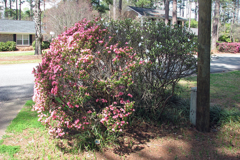 """Moving out to the Azalea bushes along the driveway, """"red"""" appears to be winning the blooming race, and is significantly ahead of """"white."""""""