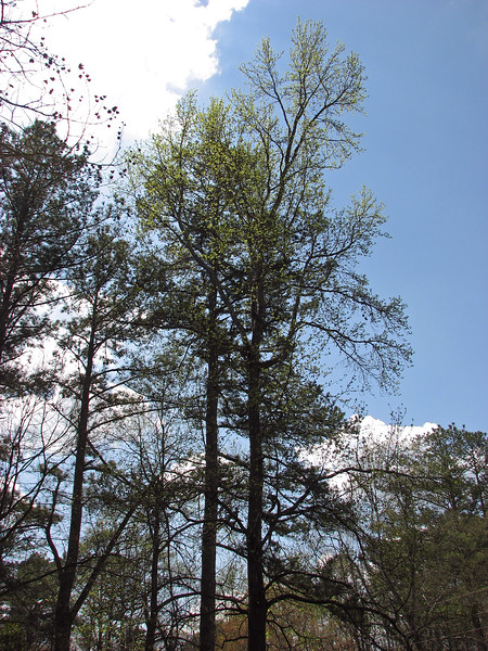 The Sweet Gum Tree, however, is noticeably greener than was seen in the previous entry.