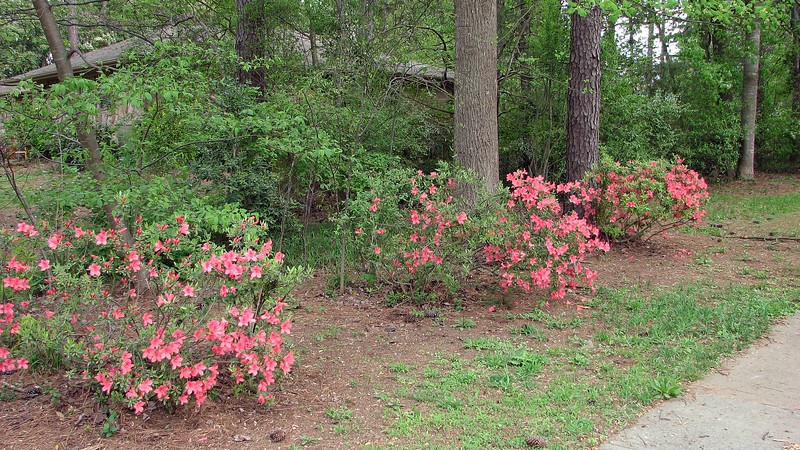 The remaining three azaleas looked pretty rough when I moved in.  I've tried to prune and shape with limited success.  But they look great when blooming.
